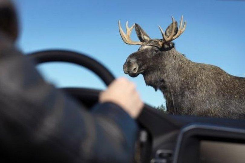 ВНижегородской области шофёр «ВАЗа» пострадал, сбив лося