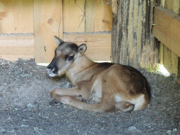 Пара северных оленей принесла потомство внижегородском Керженском заповеднике