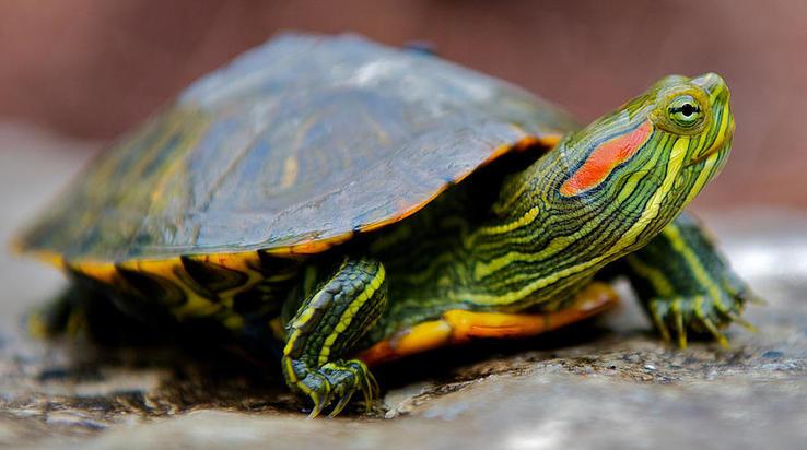 Красноухую черепаху спасли рабочие мусоросортировочного комплекса вБалахне