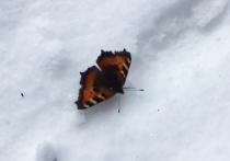 Весна близко: в Подмосковье проснулись бабочки